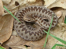 Baby adder at Pulborough Brooks