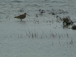 Curlew at Thorney