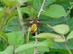 Broad-bodied Chaser at Pulborough Brooks