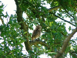 Little owl near lamb's Green