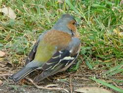 Chaffinch at Church Norton