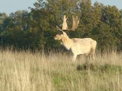 Rutting stag at petworth Park