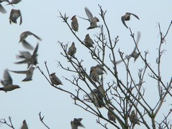 Waxwings in Crawley